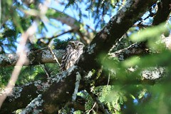 Athene noctua - Chevêche d'Athéna - Little Owl - 27/06/18 (Philippe_Boissel) Tags: athenenoctua chevêchedathéna littleowl strigidae strigiformes rapace birds europe france occitanie lot aynac 0082