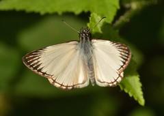 HELIOPETES ARSALTE Linnaeus, 1758 Hesperiidae (robertoguerra10) Tags: heliopetes arsalte hesperiidae