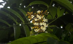 Harpullia rhyticarpa (dustaway) Tags: lismore northernrivers nature nsw australia sapindaceae harpulliarhyticarpa slenderharpullia australianflora australianrainforestplants whiteflowers inflorescence arfp qrfp tropicalarf arfflowers whitearfflowers