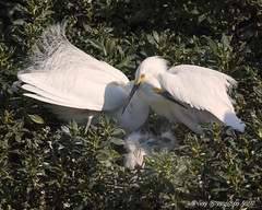 Family Portrait (pandatub) Tags: bird birds egret snowyegret lakeshorepark chick