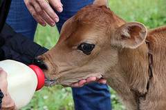 thirsty (scott1346) Tags: cow baby calf bottle milk farm dairy cityslickers themovie 1001nights demonstration feeding colors brown red green 1001nightsmagiccity canont3i thegalaxy