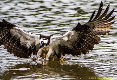 2018.06.23.0277 Right There in Front of Me! (Brunswick Forge) Tags: 2018 grouped bird birds outdoor outdoors animal animals animalportraits osprey nikond500 tamron150600mm summer virginia water river favorited commented