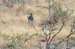DSC_2446 (Andrew Nakamura) Tags: etosha namibia etoshanationalpark projectdragonfly earthexpeditions mammal bigcat felid leopard africanleopard animal wildlife