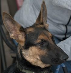 Young & Cute (Scott 97006) Tags: dog shepherd alert eats watching eyes cute young
