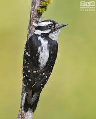 downy woodpecker (picoides pubescens) (punkbirdr) Tags: kusmin nikon d500 500mmedafsif4 tc14eii14x punkbirdrphoto downywoodpecker picoidespubescens