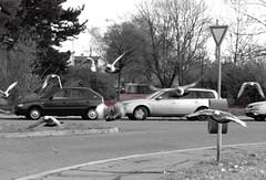 Really bad dream (Ostravak83) Tags: ostrava podzim autumn nikoncoolpix ulice street holubi pigeons pták bird silnice road dream sen horror fear strach útok attack vítkovice confusion beast