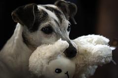 Buddy with his stuffy sheep (garypaakkonen) Tags: buddy canada canadarocks garypaakkonen jackparsons jackrussell paakkonen photography terrier canine d300s dog doggo dogs k9 nikon olddog ontario pets pupper puppy stuffy