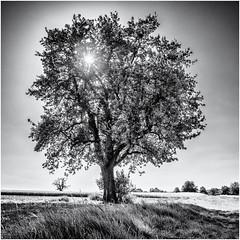 Leaves, Light, Love... (Ody on the mount) Tags: anlässe bäume em5ii felder landschaft mzuiko918 omd olympus pflanzen schwäbischealb sonne wanderung bw landscape monochrome quadratisch sw sun tree