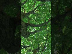 Horse Chestnut (Aesculus hippocastanum) - canopy - July 2018 (Exeter Trees UK) Tags: horse chestnut aesculus hippocastanum canopy july 2018