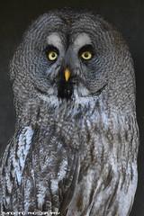 Great Grey Owl - Zie-Zoo (Mandenno photography) Tags: animal animals zoo ziezoo zie greatgrey owl owls ngc nederland nature netherlands bird birds dierenpark dierentuin dieren