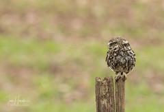 Little Owl (Ian howells wildlife photography) Tags: ianhowells ianhowellswildlifephotography nature naturephotography nationalgeographic unitedkingdom wildlife wildlifephotography wild wildbird littleowl owl