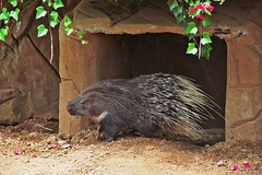 Hello everybody! :) (green_lover (your COMMENTS are welcome :))) Tags: porcupine rodents animals junglepark tenerife canaryislands spain zoo