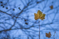 Lone Leaf (Arranion) Tags: leave leaves blue autumn rusty brown yellow sky bokeh tree canon eos 5d2 300mm l f4 capetown houtbay clay cafe