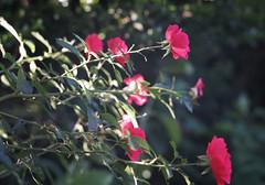 DSC09039 (Old Lenses New Camera) Tags: sony a7r kodak medalist ektar heliar 100mm f35 plants garden flowers rose roses