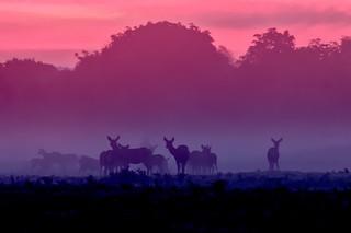 Bradgate Fallow Deer