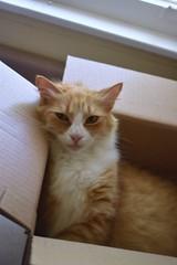 Jimmy (rootcrop54) Tags: jimmy orange ginger tabby male cat nutscom delivery box neko macska kedi 猫 kočka kissa γάτα köttur kucing gatto 고양이 kaķis katė katt katze katzen kot кошка mačka gatos maček kitteh chat ネコ kitchen counter