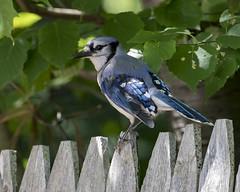 Fence-sitter (wandering tattler) Tags: bird songbird jay bluejay cyanocitta keene newhampshire wildlife blue 2018