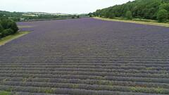 DJI_0303 (Duncan Mackway-Jones) Tags: aerial dji phantom lavender field kent eynsford flower