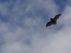 Pipistrelle Bat (ukstormchaser (A.k.a The Bug Whisperer)) Tags: pipistrelle bat bats uk daytime evening sunlight milton keynes flying flight hunting sunshine july motion wings common wildlife