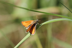 Skipper! [Explored!} (RiverCrouchWalker) Tags: skipper butterfly hadleighcountrypark essex insect invertebrate july 2018 summer grass hadleigh benfleet thymelicus