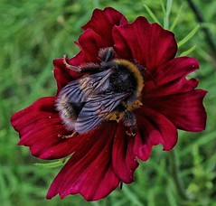Mr Bee, getting stuck in! 😊🌻🐝 (LeanneHall3 :-)) Tags: bee yellow black wings insect wildlife nature maroon red cosmos flower petals closeup closeupphotography macro macrophotography canon 1300d