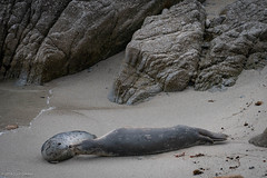 Harbor Seals (davegolden) Tags: ~places beach seal mammal pacificgrove california unitedstates usa