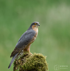 Mad Max (mikedenton19) Tags: sparrowhawk accipiter nisus accipiternisus male bird nature wildlife birdofprey raptor hawk scottishphotographyhides scotland