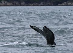 Alaska076 (lorstierlen) Tags: kodiak katmai nature wildlife birds sea otter whale puffin seal tern