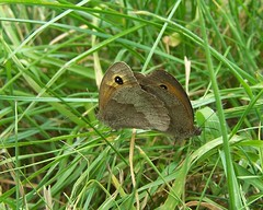 Gatekeepers (ERIK THE CAT Struggling to keep up) Tags: staffordshire blithfield butterflies lepidoptera ngc npc