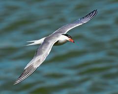 Tern Preston Docks F00286 D210bob  DSC_3544 (D210bob) Tags: tern prestondocks f00286 d210bob dsc3544 nikond7200 birdphotography birdphotos naturephotography naturephotos nikon nikon200500f56 wildlifephotography