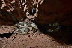 Carpet Python (Morelia spilota) (shaneblackfnq) Tags: carpet python morelia spilota shaneblack snake reptile hollow log mt mount molloy julatten fnq far north queensland australia tropics tropical