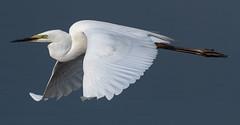 Great White Egret May 2018 (jgsnow) Tags: bird waterbird heron egret greatwhiteegret flight