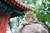 DSC02030+ (๑Kerchak๑) Tags: cat straycat streetcat meow color colour temple fayuansi china beijing cute