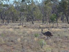 Emu (margaretpaul) Tags: emu nsw outback lightningridge