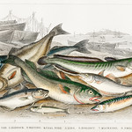 Common Cod, Haddock, Whiting, Coal Fish, Ling, Holibut, Mackerel, and Smelt or Spirling from A history of the earth and animated nature (1820) by Oliver Goldsmith (1730-1774). Digitally enhanced from our own original edition. thumbnail