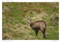 Portrait (BerColly) Tags: france auvergne puydedome montdore chamois animaux animals montagne mountain bercolly google flickr