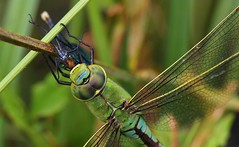 Emperor Dragonfly 180618 (3) (Richard Collier - Wildlife and Travel Photography) Tags: wildlife naturalhistory nature insects dragonflies emperordragonfly british britishinsect macro closeup