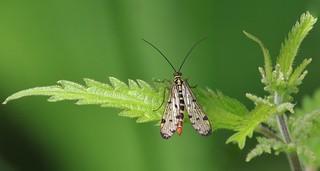 Scorpion Fly - Female      (Panorpa communis)