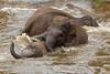 Elephant 18-06-18 (3) (R.J.Boyd) Tags: chester zoo wildlife north northwest england animal park mammals elephant asia big