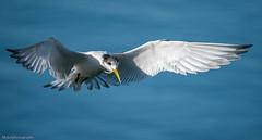 Little Tern Sternula albifrons Laridae (Mykel46) Tags: bif birds flight fish fishing catch sony a9 100400mm