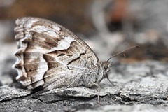 le chevron blanc_Hipparchia fidia_01 (o2ladudelire) Tags: papillon papillons butterflies butterfly orange green blue canon macro lepidoptera lepidoptere insect insects insecte insectes yello eos ef100mm flowers flower fleur fleurs france gironde