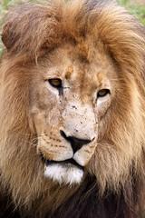 SOUTH AFRICA 2018 (Ian Macfadyen) Tags: safari southafrica wildlife photography bush wildanimals biggame bushveld kruger reserve nationalpark travel journey africancontinent canon longlenses telephoto adventure adrenalinrush gamedrive bushwalk armedrangers prideoflions lion lioness