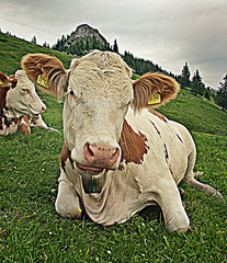 Cow Nr. 75 762 (yorkiemimi) Tags: cow bavaria germany mountains animal deutschland bayern alpen tier kuh natur