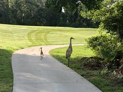 SandhIll Crane Family 1 (Ed Rosack) Tags: iphone usa wintersprings nature bird young centralflorida florida sandhillcrane 29cranes gruscanadensis immature juvenile sacr unitedstates us