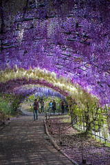 Kawachi Wisteria Garden (DanÅke Carlsson) Tags: japan japanese kyushu kawachi fujien wisteria garden flowers hanging blue purple violet green tunnel walking
