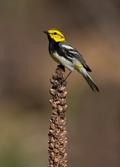 Black-Throated Green Warbler. (mandokid1) Tags: canon 1dx 600mm birds warblers