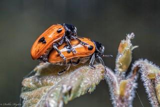 Lover Leaf Beetles