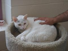 White Cat, Montclair Animal Shelter (smaginnis11565) Tags: montclairanimalshelter montclair newjersey essexcounty cat