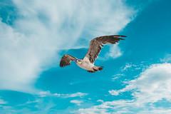Seagull #2 (dmitry.grishchak) Tags: mexico quintanaroo seagull чайка bird playadelcarmen mx