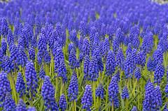 Grape Hyacinth (s.d.sea) Tags: grape hyacinth hyacinthus flower flowers floral bloom spring blossom purple grow skagit valley tulip festival roozengaarde washington washingtonstate pentax k5iis 35mm macro pnw pacificnorthwest